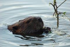 beaver Fotografia Stock