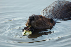 Beaver. A beaver is swimming and eating tree leaves in the water Stock Photography