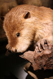 Beaver. A diorama at the Dallas Museum of Nature and Science includes a stuffed beaver Royalty Free Stock Image