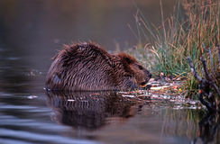 Beaver. Young beaver eating branch. yellowstone National Park Stock Images