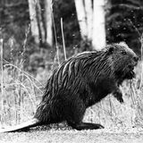 Beaver royalty free stock images