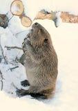 beaver amerykańskiej na północ Obrazy Stock