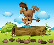 A beaver balancing Royalty Free Stock Photos
