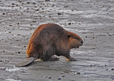 Beaver on Beach Royalty Free Stock Photography