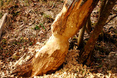 Beaver bite trails Royalty Free Stock Photos