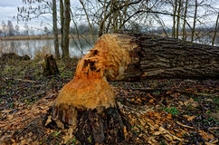 Beaver bitten and felled tree in riparian area. A bitten and felled tree by a beaver. They altering habitats by cutting down trees in riparian areas. Wildlife in stock photos