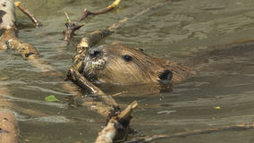Beaver building. Beaver moving sticks in the water pond Royalty Free Stock Image