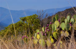 Beaver cactus Stock Photography