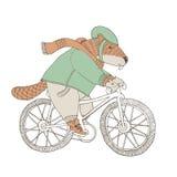 Beaver in cappotto e sciarpa che guidano una bicicletta Immagini Stock