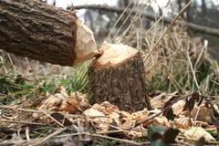Beaver carnage Stock Image