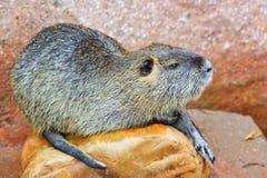 Beaver(Castor) 2 Royalty Free Stock Photo