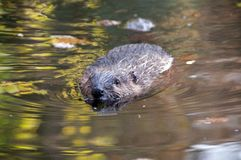 Beaver (Castor fiber) Royalty Free Stock Images
