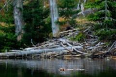 Beaver, Castor fiber, in the mountain lake, beaver castle in the background. Wildlife scene from nature. Animal from Sumava mounta Stock Photos