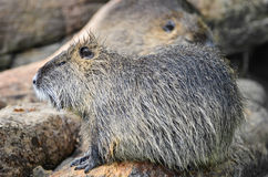 Beaver - Castor Royalty Free Stock Images