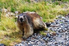 beaver castoro Стоковая Фотография
