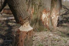 Beaver chewed tree Royalty Free Stock Image
