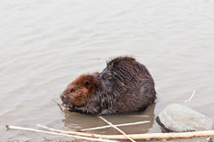 Beaver Chewing a Stick Stock Photography