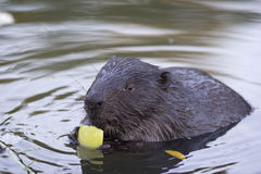 The beaver chews a piece of apple Royalty Free Stock Photo