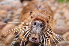 Beaver close-up Stock Images