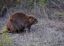 Beaver. Close-up of a Canadian beaver on land Royalty Free Stock Photography