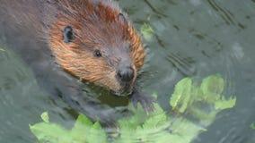 Beaver stock video