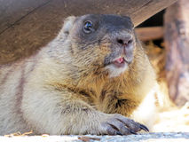 Beaver close-up Royalty Free Stock Images