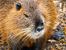 Beaver close up view Royalty Free Stock Photography