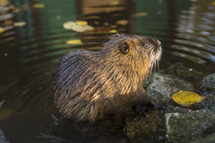 Beaver Close Up Royalty Free Stock Photo