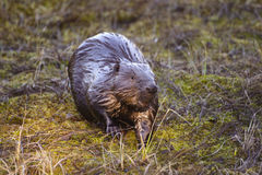 Beaver on coast of lake. Photohunting Stock Image