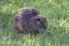 Beaver con las flores azules del capo por su lado Foto de archivo libre de regalías