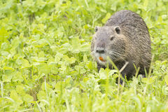 Beaver coypu looking at you Stock Photos