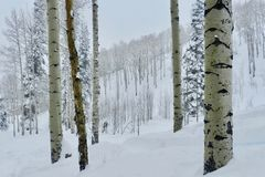 Beaver Creek Birches: Christmas Time Serenity Scene at the Ski Resort. Deep powder snow and silvery birches against a backdrop of birch trees and snow- laden stock images