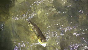 Beaver Creek Brown Trout stock video footage