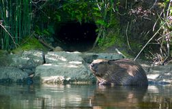 Beaver on a creek in Sweden stock photography