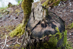 A beaver cutted tree Stock Photo