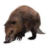Beaver Royalty Free Stock Image