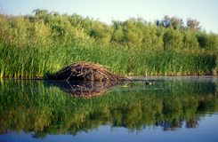 Beaver Dam. A beaver dam and the reflections of the shoreline vegetation in a calm pond Royalty Free Stock Photography