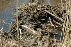 Beaver dam Royalty Free Stock Images