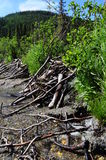 Beaver dam. In the process of being build Royalty Free Stock Image