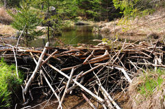 Beaver Dam Royalty Free Stock Image