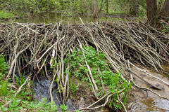 Beaver dam Stock Photography