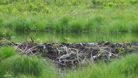 Beaver dam stock video footage