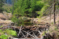 Beaver dam Royalty Free Stock Photos