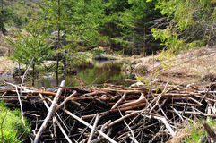 Beaver dam Royalty Free Stock Photography