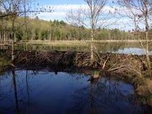 Beaver dam Stock Image