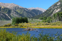 Beaver dam during fall. Beaver dam in lake during fall.  Colorado lake with blue water.  Fall colors and mountains Royalty Free Stock Photography