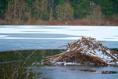 Beaver Dam Home over Cold Frozen Lake in the Winter. Frozen Pond  of Snow Covering a Beaver Dam Home Constructed with Tree Branches Royalty Free Stock Images