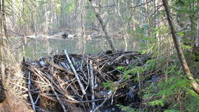 Beaver dam on the lake Stock Photo