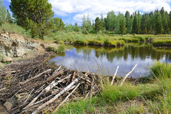 Beaver dam in pond in the mountains Stock Photo
