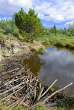 Beaver dam in pond in the mountains Royalty Free Stock Image